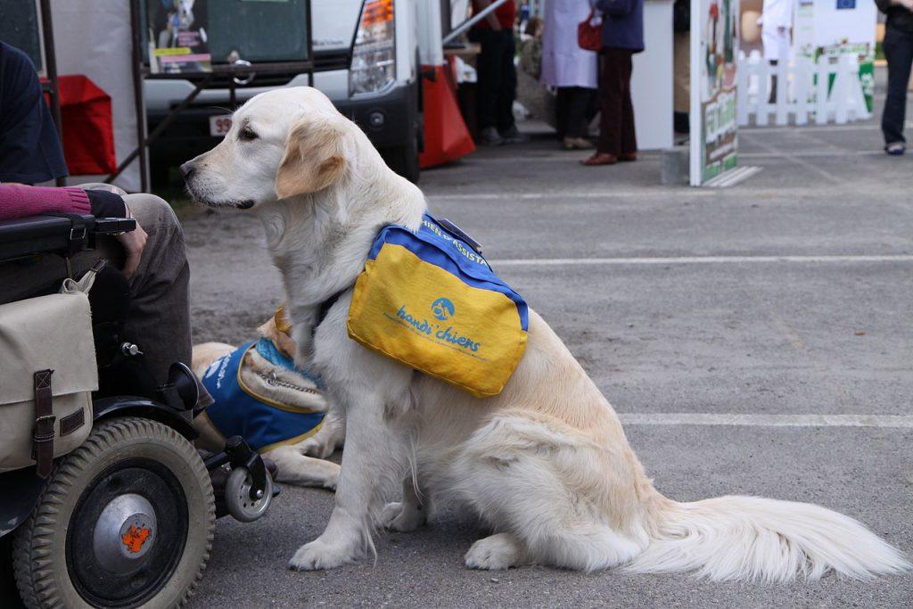 chien d'assitance devant une personne en fauteuil roulant